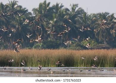 Flock of duck take off near lagoon, Mannar, Sri Lanka