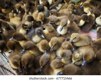 a flock of duckling