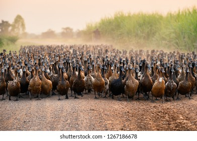 Flock of ducks with agriculturist herding on dirt road in countryside