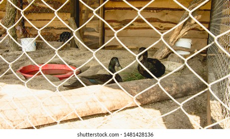 Flock of ducks in a cage, Ducks, white ducks, black ducks, poultry, farm, zoo, wild birds, travel, vacation, village, waterfowl, flock of birds, birds, bird cage, pitching, tourism