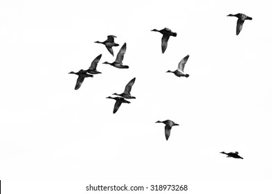 Flock of Ducks Flying on a White Background