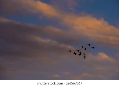 flock of ducks, La Pampa, Argentina