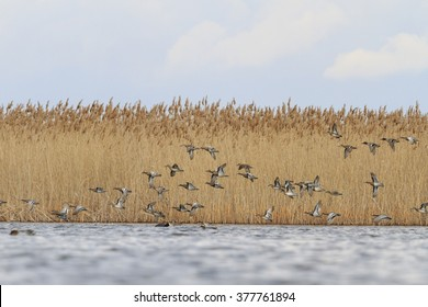 flock of ducks and over the water on the background of reeds