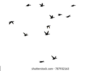 Flock of Ducks Silhouetted on White Background As They Fly