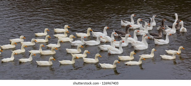 flock of ducks swimming on the river