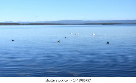 A flock of ducks swims in George basin in a park on a sunny winter time in Australia. Floating waterfowl, young ducks and swans, wild birds swimming on the lake, wildlife landscape.