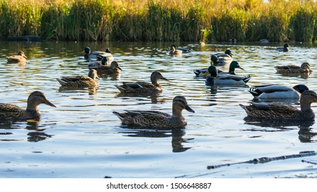 a flock of ducks swims in the lake in the sunset
