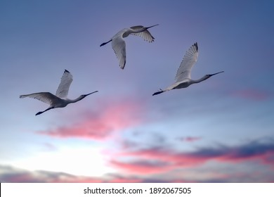 Flock of egrets flying high during golden hours in India. The great egret known as common egret, large egret or great white egret or great white heron. it builds tree nests in colonies close to water.
