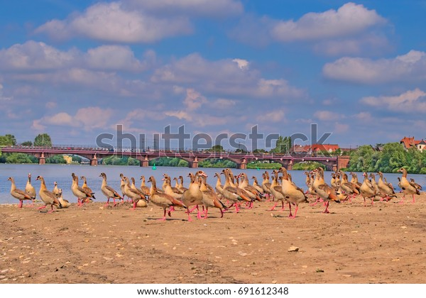 A flock of egyptian geese on the river Neckar in Germany