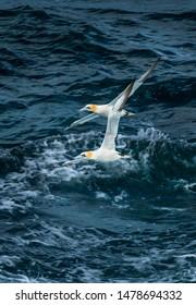 Flock Of Elegant Gannets Flies Over Wild Atlantic In Scotland