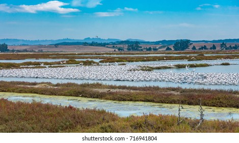 A flock of Elegant Terns ( Thalasseus elegansrns) at their breeding rookery at the Moss Landing State Park, near the Elkhorn Slough, along the pacific coast of central California in Monterey County.