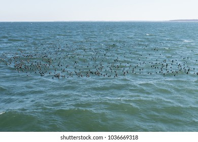 Flock of european Coots in the Baltic Sea in Winter