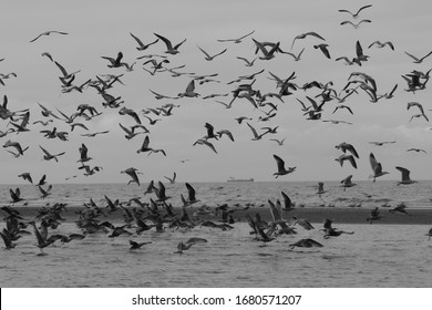 A flock of European Herring seagulls (larus argentatus) is flying over the water in front of a tanker; black-white
