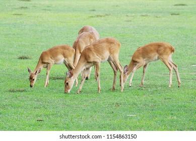 Flock of Female Eld's Deer eating grass at zoo