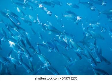 Flock of fish in ocean