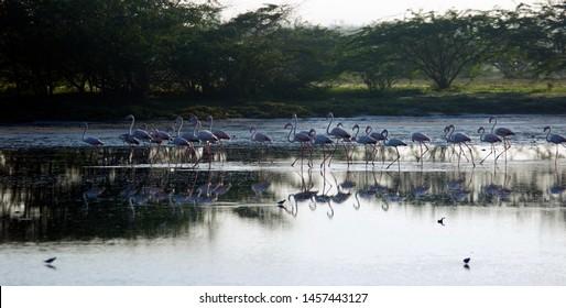 Flock of Flamingos in dawn at Mannar saltern, Sri Lanka