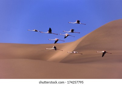 a flock of flamingos flying over the dunes sandwich harbour