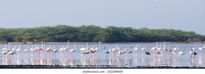 Flock of  Flamingos in Mannar Saltern, Sri Lanka.