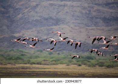 A flock of flamingos over Natron lake, Tanzania