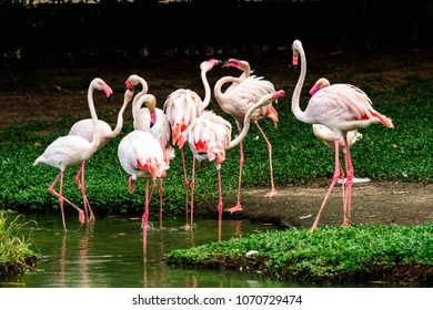 Flock of flamingos (Phoenicopterus) standing and interacting naturally on the water at Mangal das Garcas park, an important tourist spot in Belem do Para, Brazil