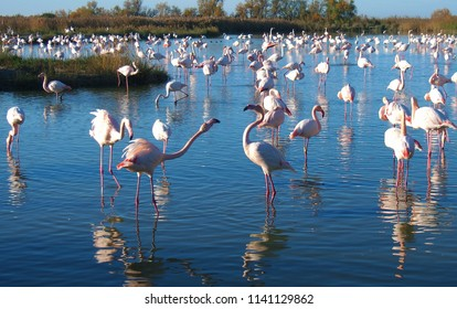 A flock of flamingos standing, beautiful pink flamingo birds in the wild