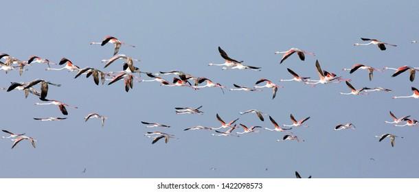 Flock of  Flamingos take off in Mannar Saltern, Sri Lanka.