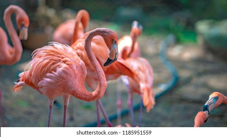 A Flock Of Flamingos In Zoo