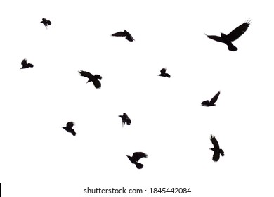 Flock of flying crows isolated on white background. Flock of birds isolated on white. Black crows are isolated in flight.