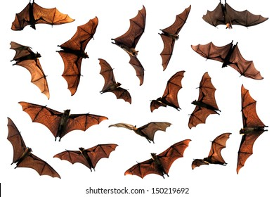 Flock of flying fox fruit bats composite image
