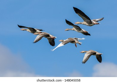 A flock of flying greylag geese (Anser anser) with a blue sky