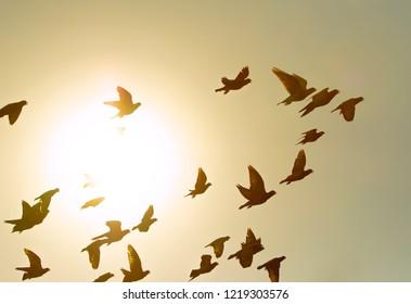 flock of flying pigeon bird against sun light sky