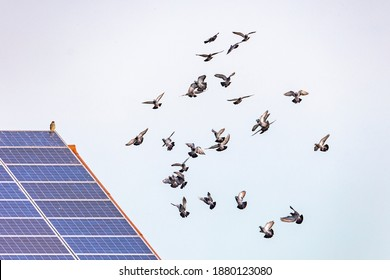 a flock of flying pigeons in front of a roof with solar panels on which a hawk is sitting
