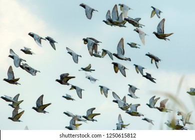 flock of flying speed racing pigeon release from competition basket against beautiful morning light