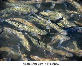 A flock of freshwater fish trout floats at the in farmer pond