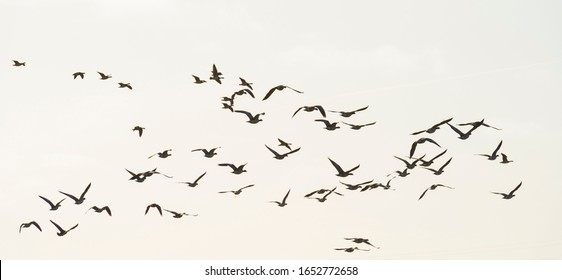 Flock of geese flying in formation in winter in a natural park