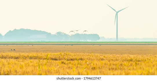 Flock of geese flying over an agricultural field at sunrise in an early summer morning, Almere, Flevoland, The Netherlands, August 11, 2020