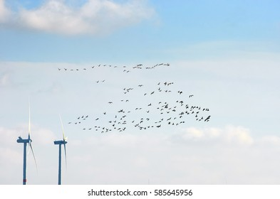 A flock of geese flying past some wind turbines in North Frisia.