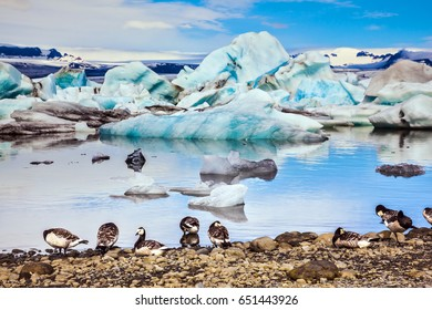 Flock of geese grazing on the lake. Sunrise illuminates the glacier Vatnajokull and water of Ice Lagoon Jokulsarlon. The concept of extreme northern tourism
