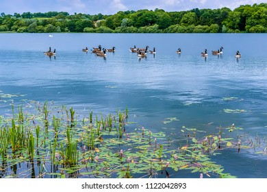 A flock of geese swimming on Raventhorpe Water, Northamptonshire, UK