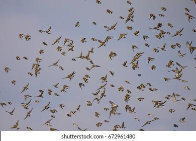 Flock of goldfinches in Villafafila (Zamora)