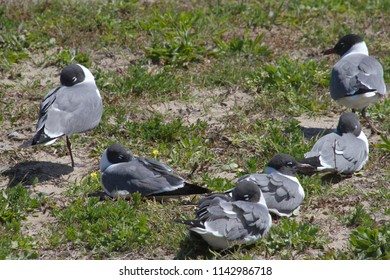A flock of gray, white and black seagulls sleep together in the grass as one stays on guard, on the coast of North Carolina