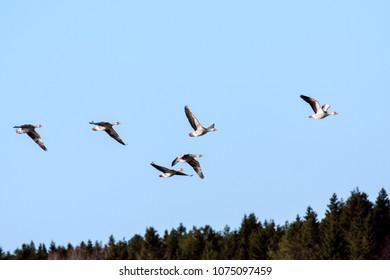 A flock of graylag geese in migration. Clear blue sky in April. Forest in the background.