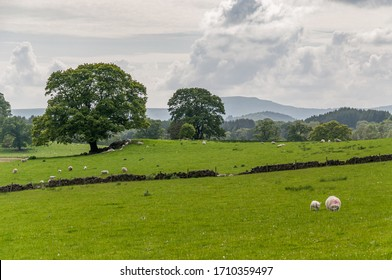 Flock of grazing sheep with a landscape of woods and hills in the background, Scotland. Concept: animal life, national symbol, life on farms, wool production