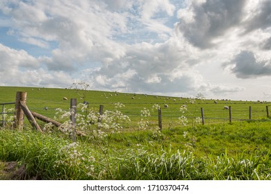 Flock of grazing sheep on a meadow with a fence in the foreground, Scotland. Concept: animal life, national symbol, life on farms, wool production
