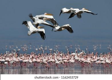 A flock of Great White pelicans flies over the colony of lesser flamingos. Scientific name: Pelecanus onocrotalus. Lake Natron. Tanzania.