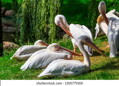 Flock of great white pelicans (Pelecanus onocrotalus) also known as the eastern white pelican, rosy pelican or white pelican on a lakeshore