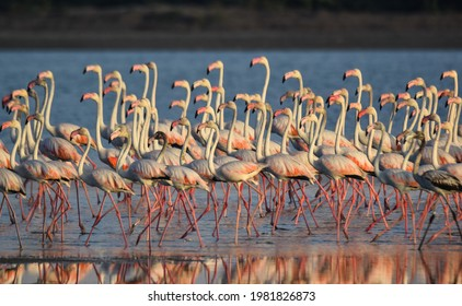 A flock of Greater Flamingos migrated Mannar, Sri Lanka during the April 2021. Flock consist of adult male, female and juvenile Flamingos.