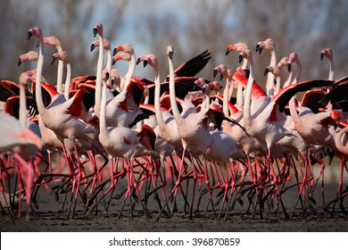 Flock of  Greater Flamingos, Phoenicopterus ruber, nice pink big birds, dancing in the water, animal in the nature habitat in Camargue, France.