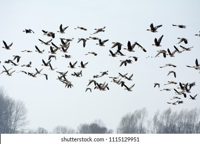 Flock of greylag geese flying in the countryside in spring - leafless trees in the background