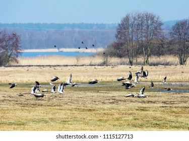 Flock of greylag geese flying over fields in spring in Poland